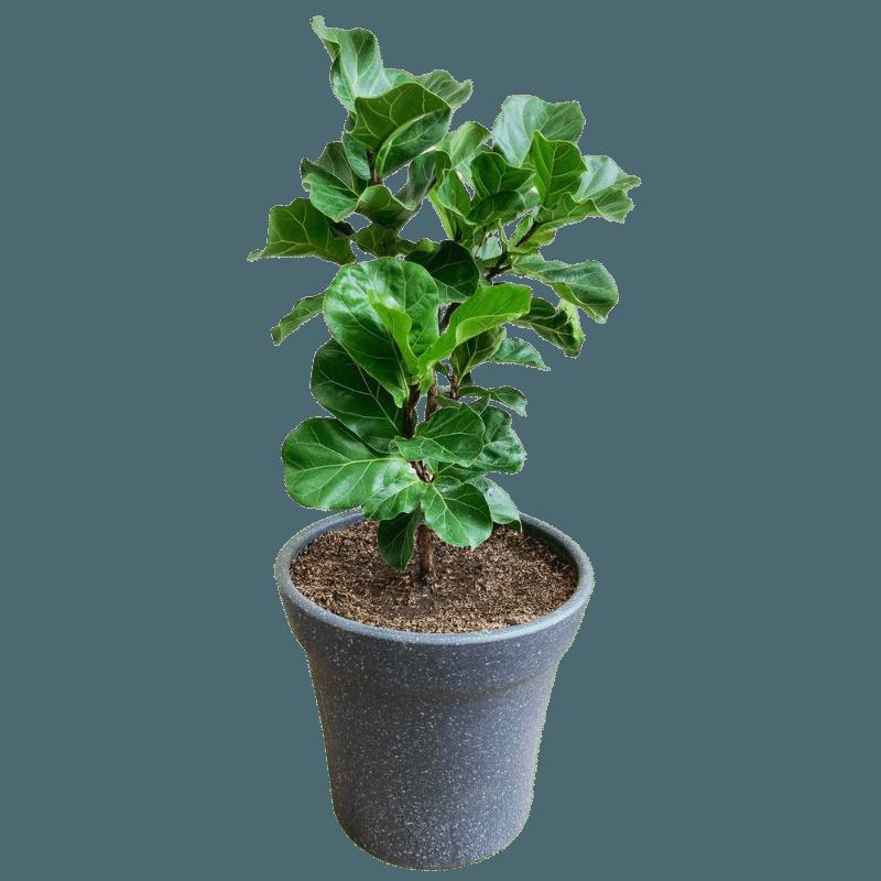 Ficus Lyrata Bambino en Maceta Tradicional Gris